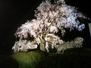 Sakura20110406_1