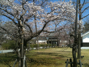 Sakura_20110406_3