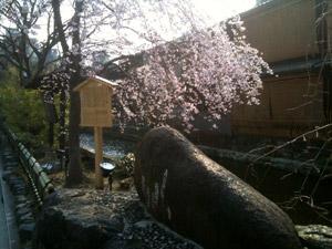 Sakura110330