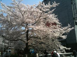 Sakura20110410_3