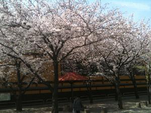 Sakura20110410_1