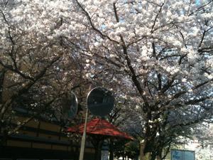 Sakura20110414_2