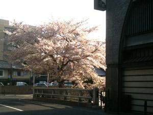 Sakura20110414_1