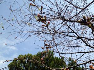 Sakura4b